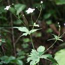 Image of <i>Ranunculus platanifolius</i> L.