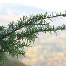 Image of Carolina Hemlock