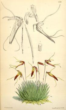 Image of Trisetella