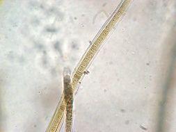Image of Scytonema