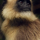 Image of Black-footed Gray Langur