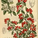 Image of silverleaf cotoneaster