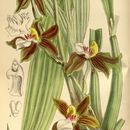 Image of Galeottia