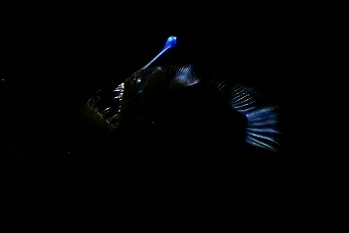 Image of Coves' Horned Anglerfish