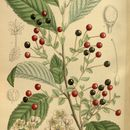 Image of Korean cherry