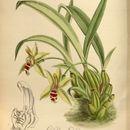 Image of Promenaea