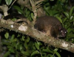 Image of Lemuroid ringtail possum
