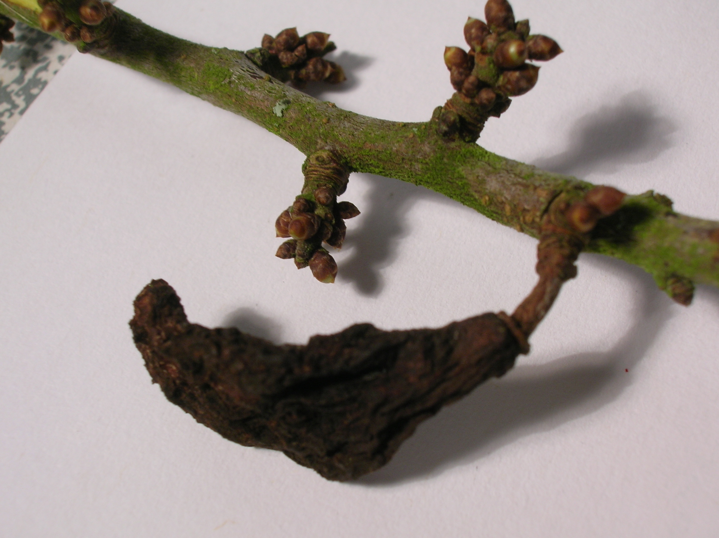 Image of Bladder Plum Gall