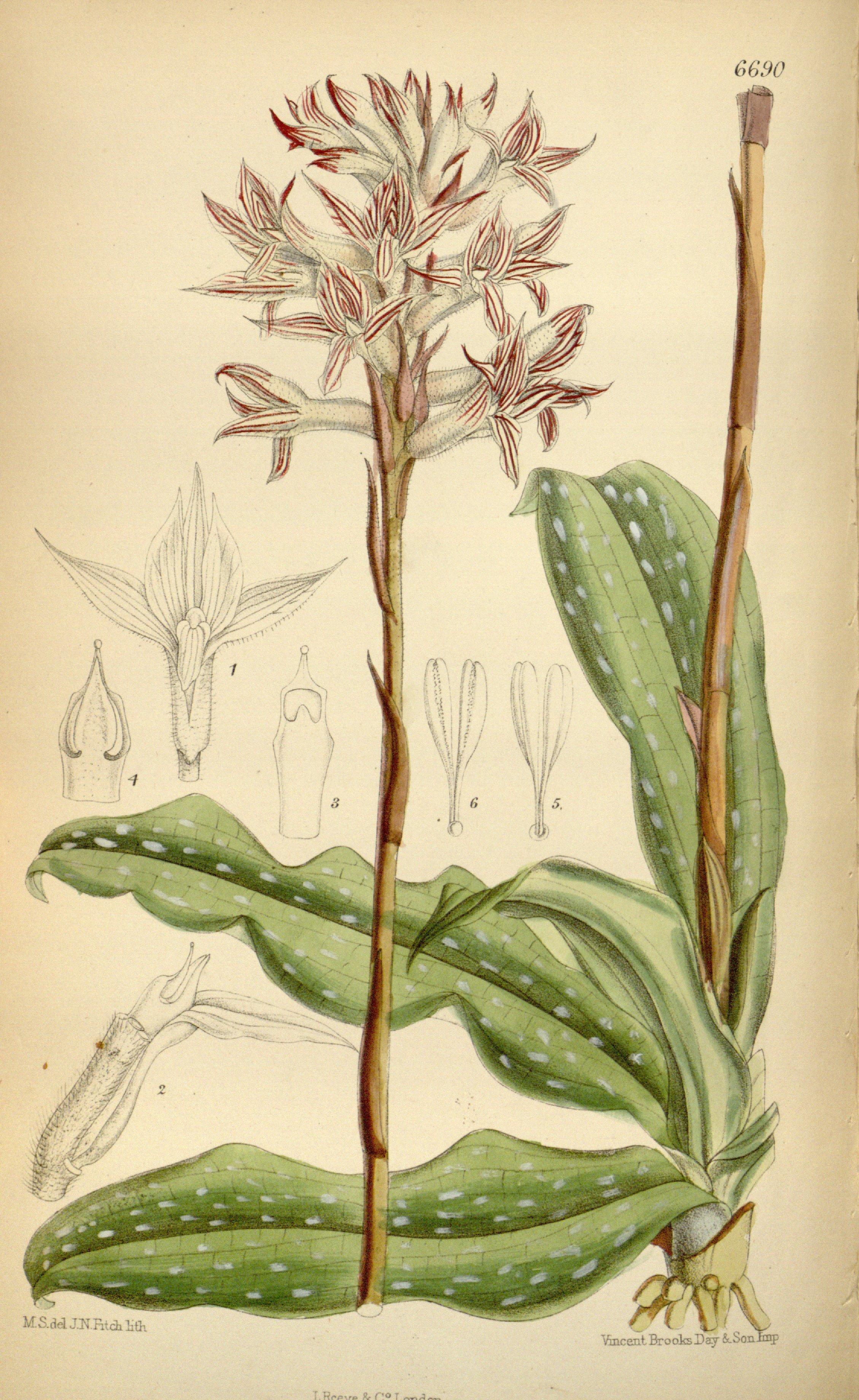 Image of Pteroglossa