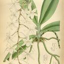 Image of <i>Aerangis modesta</i> (Hook. fil.) Schltr.