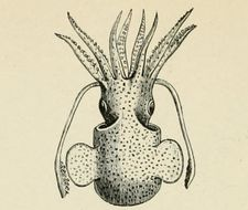 Image of Common Bobtail Squid
