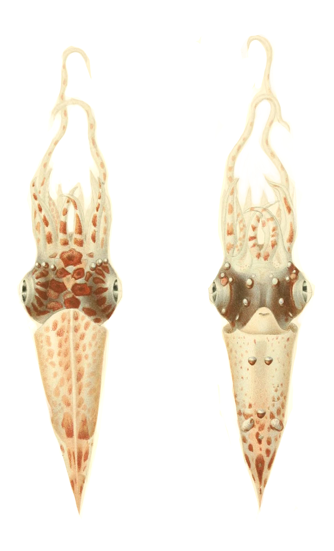 Image of roundear enope squid