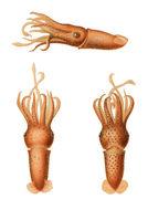 Image of reverse jewell squid