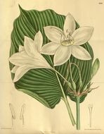 Image of Eucharis