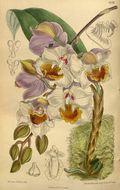 Image of <i>Aganisia cyanea</i> (Lindl.) Rchb. fil.
