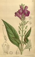 Image of <i>Artanema longifolium</i> (L.) Vatke