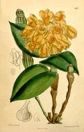 Image of <i>Dendrobium sulcatum</i> Lindl.