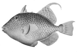 Image of Bluespotted Triggerfish