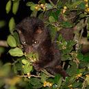 Image of Brown Palm Civet