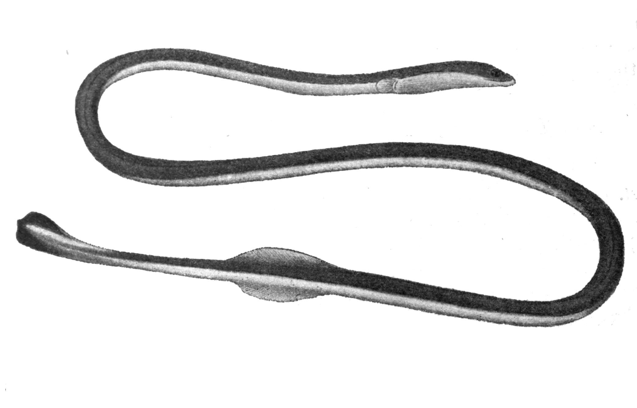 Image of Bicolor spaghetti eel