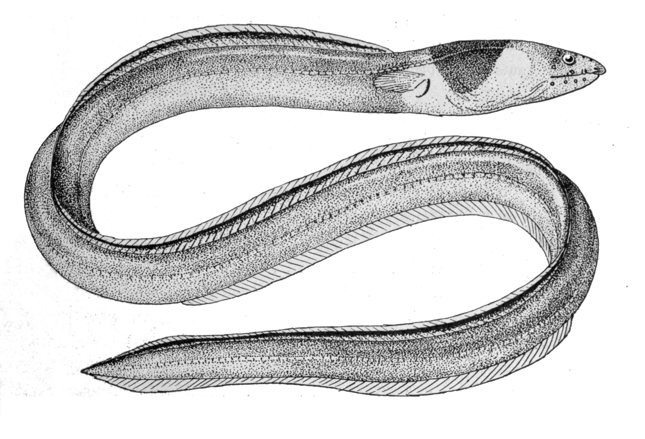 Image of Black-neck snake eel