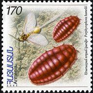 Image of <i>Porphyrophora hamelii</i> Brandt 1833