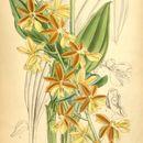 Image of <i>Calanthe striata</i> R. Br. ex Spreng.