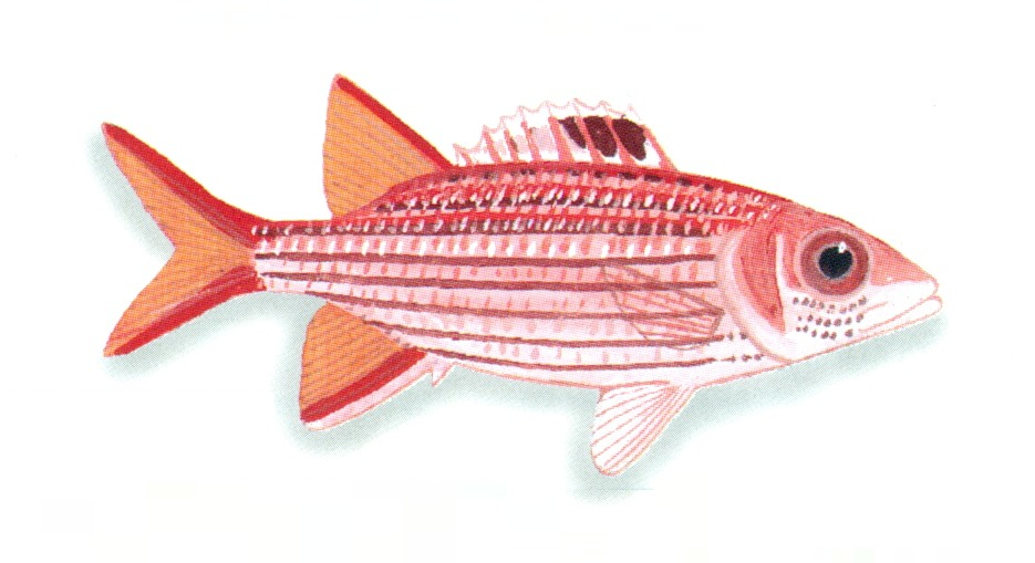 Image of Cryptic Squirrelfish