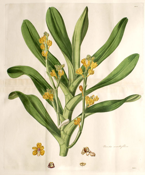 Image of Banana Orchid