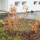 Image of <i>Acer ginnala</i>