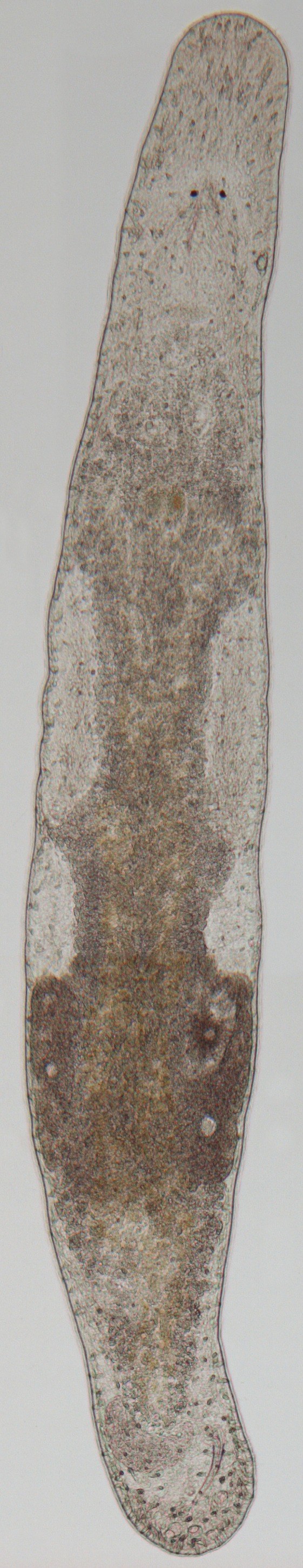 Image of <i>Macrostomum lignano</i> Ladurner, Schärer, Salvenmoser & Rieger 2005