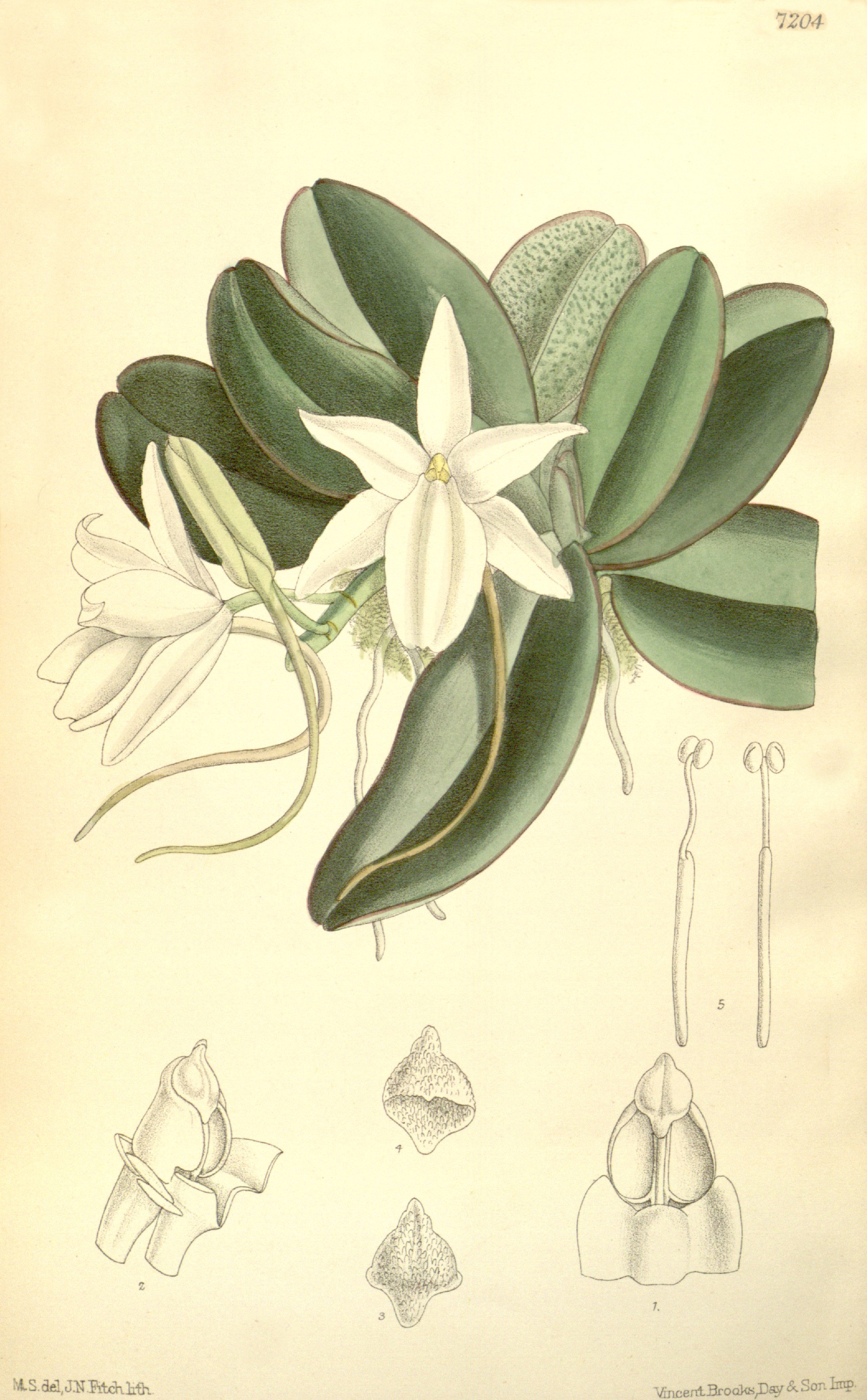 Image of The Magnificent Aerangis