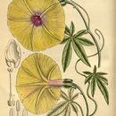 Image of <i>Ipomoea tuberculata</i> Ker-Gawl.
