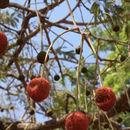 Image of African Locust Bean Tree