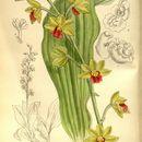 Image of <i>Calanthe tricarinata</i> Lindl.