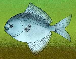 Image of <i>Pasaichthys pleuronectiformis</i>