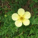 Image of <i>Dasiphora fruticosa</i>