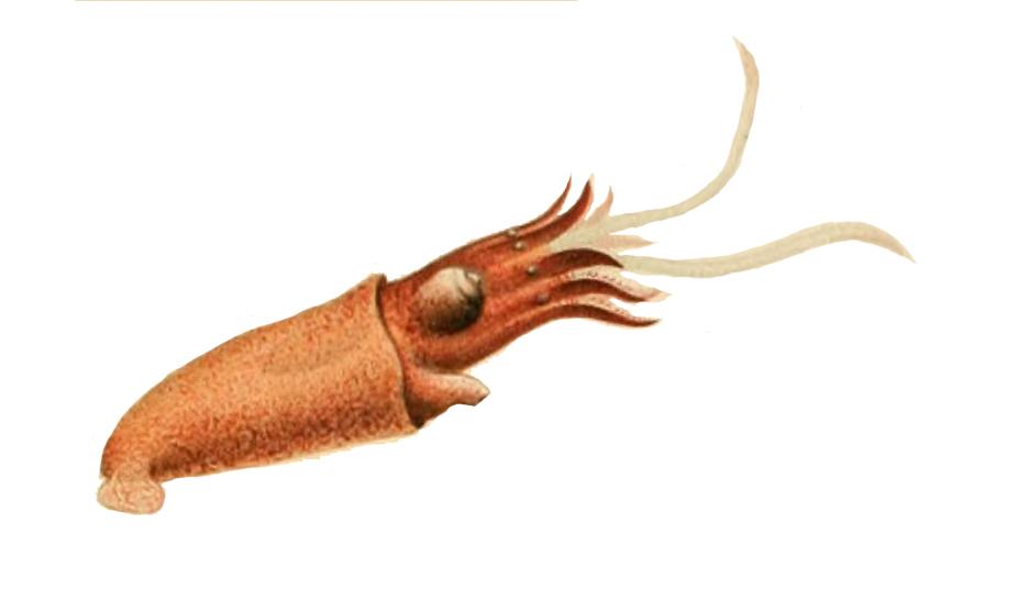 Image of <i>Bathyteuthis abyssicola</i> Hoyle 1885