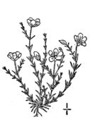 Image of knotted pearlwort