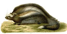 Image of <i>Lophiomys imhausi</i> Milne-Edwards 1867