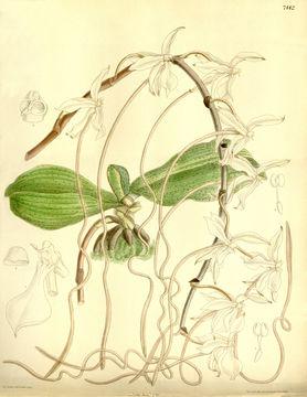 Image of Aerangis