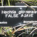 Image of hechtia