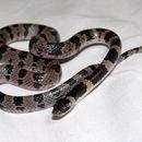 Image of <i>Lycodon orientalis</i>