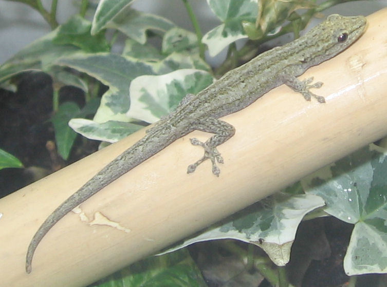Image of Angulated dwarf gecko