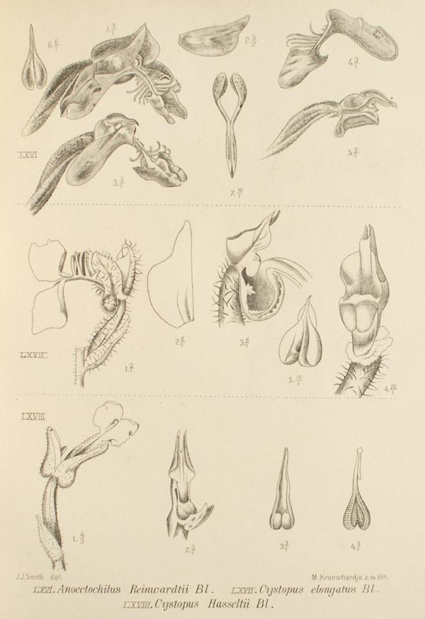 Image of Odontochilus