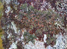 Image of Boreal Felt Lichen