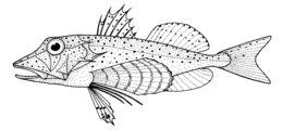 Image of Spotted gurnard