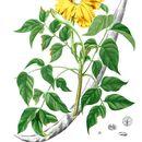 Image of siala
