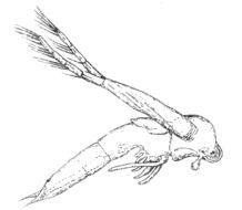 Image of <i>Leptodora kindtii</i> (Focke 1844)