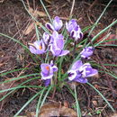 Image of Least purple crocus